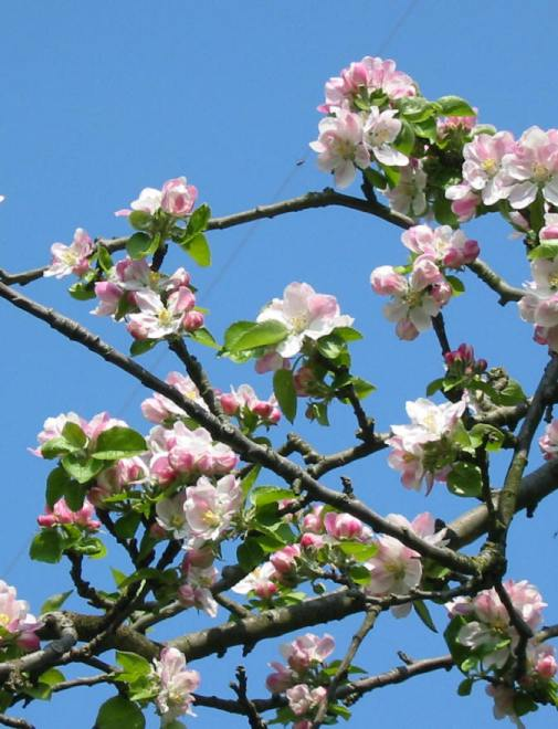 Bramley apple tree blossom