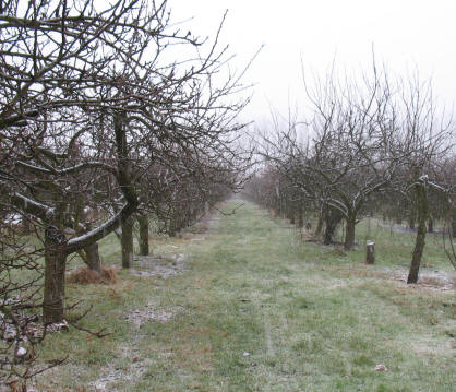 Snowy orchard at Hewitts Farm, Kent