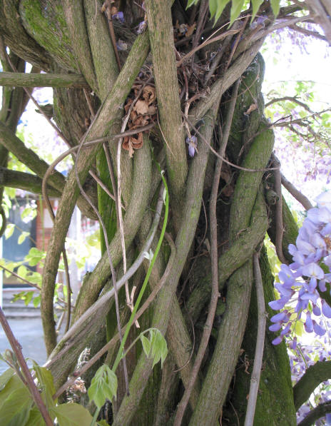Wisteria stems growing in knots